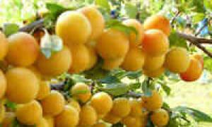 Варенье из желтых слив без косточек рецепт